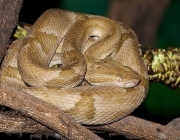 A Bothrops Insularis 2