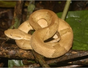 A Bothrops Insularis 4