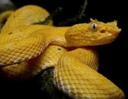 A Bothrops Insularis 6