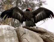 -- One of two adult California condors spreads its 9 1/2 foot wings while atop bolders in the new Condor Ridge exhibit at the San Diego Wild Animal Park Thursday, May 25, 2000. The exhibit opens to the public on Saturday, May 27, 2000. (AP Photo/Bob Grieser
