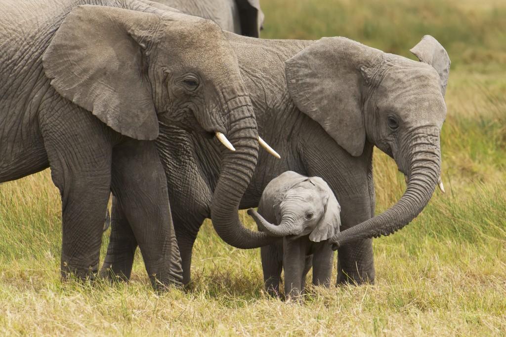 Reprodução dos Elefantes 6