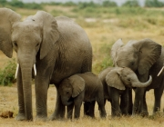 Reprodução dos Elefantes 5
