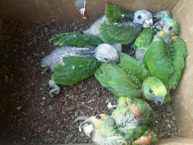 Acasalamento dos Papagaios 2