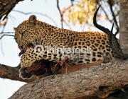 A young leopard feeds on his Impala kill in a tree in the Botswana bush, Moremi National Park, Africa