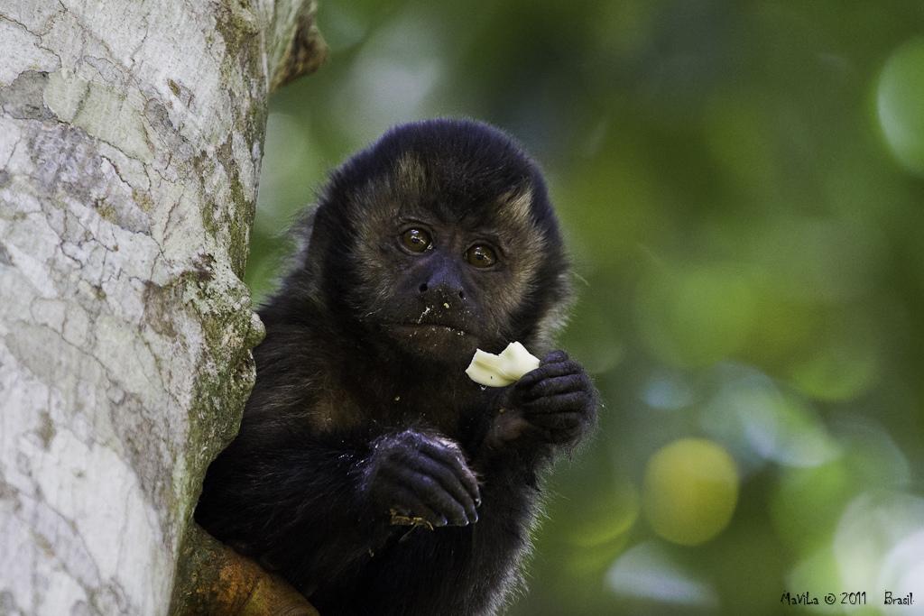 Alimentando o Macaco-Prego 4