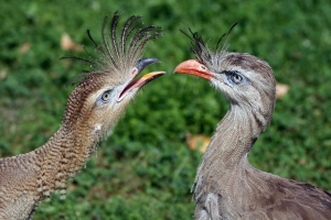 Red-legged Seriema (Cariama cristata), adult (right) and young bird at the zoo Schönbrunn in Vienna.