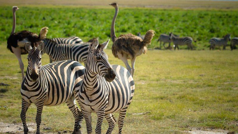 Avestruzes e Zebras Juntos 2