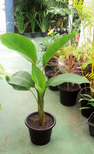 Bananeira Ornamental no Vaso 4