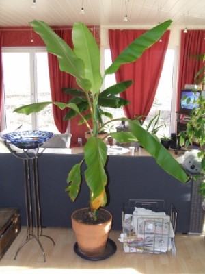 Bananeira Ornamental no Vaso 6