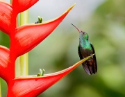 Rufous-tailed Hummingbird perched on a Heliconia flower