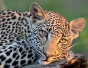 Big Five Leopardo