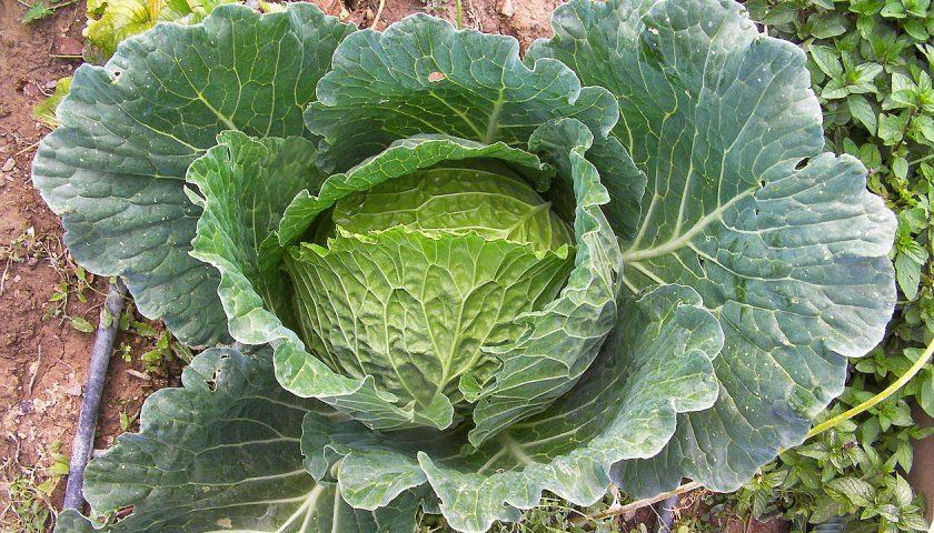 Cultivo de Hortaliças  Brassicaceae 5