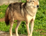 Canis Lupus Pallipes 1