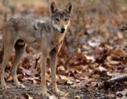 Canis Lupus Pallipes 3
