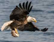 Bald Eagle With Fish Wide Desktop Background