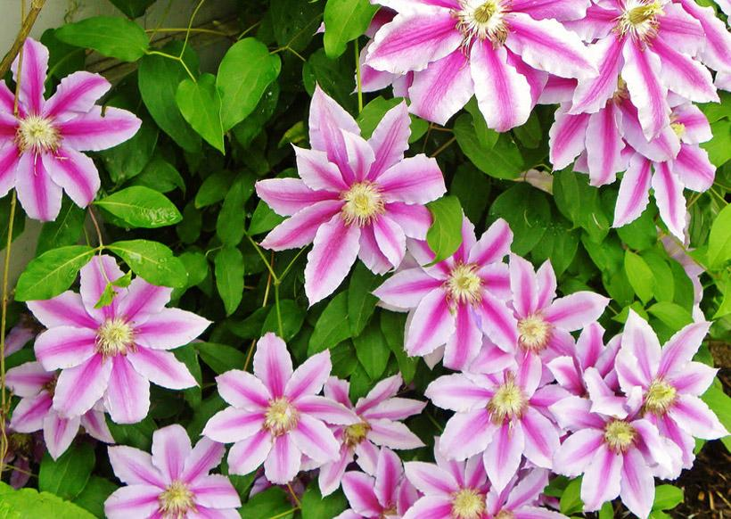 Clematis x 'Nelly Moser' 1