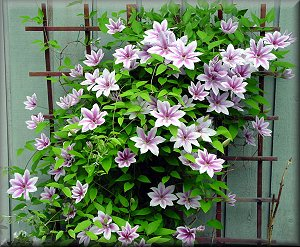 Clematis x 'Nelly Moser' 3