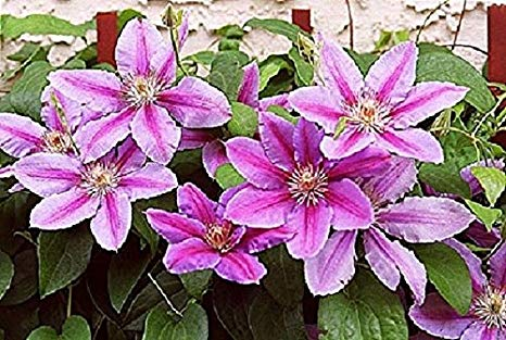 Clematis x 'Nelly Moser' 5
