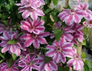 Clematis x 'Nelly Moser' 4