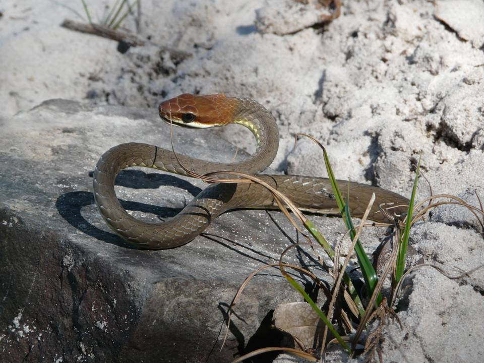 Cobra Marrom do Brasil (Chironius Quadricarinatus) 2