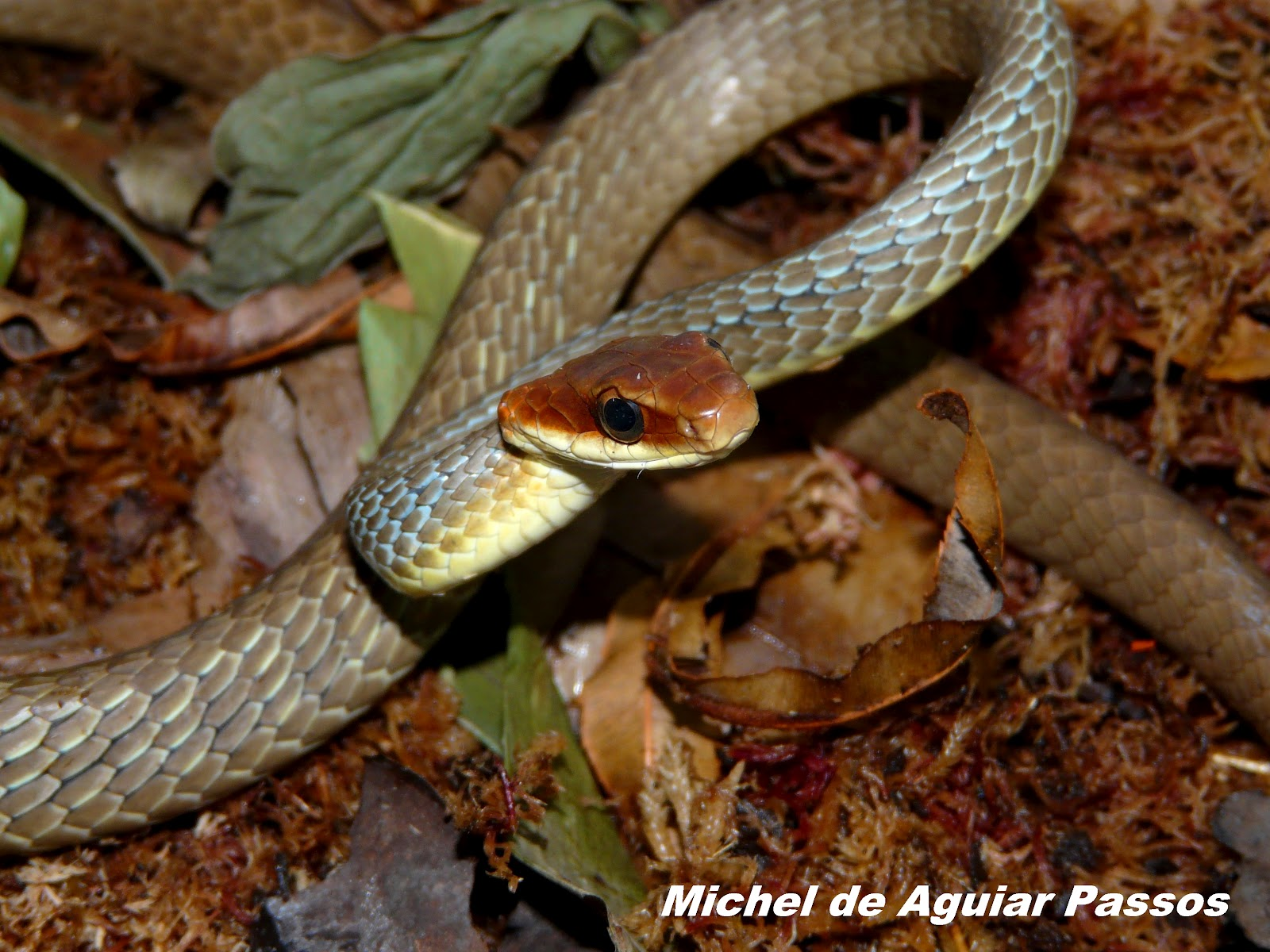 Cobra Marrom do Brasil (Chironius Quadricarinatus) 4