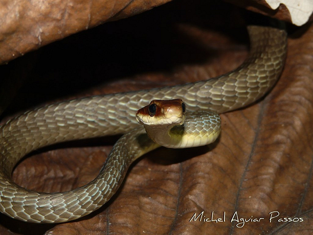 Cobra Marrom do Brasil (Chironius Quadricarinatus) 5