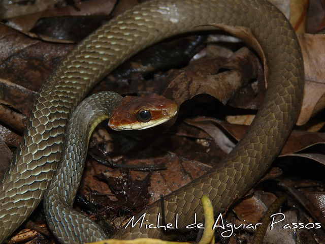 Cobra Marrom do Brasil (Chironius Quadricarinatus) 6
