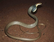 Cobra Marrom do Brasil (Chironius Quadricarinatus) 3
