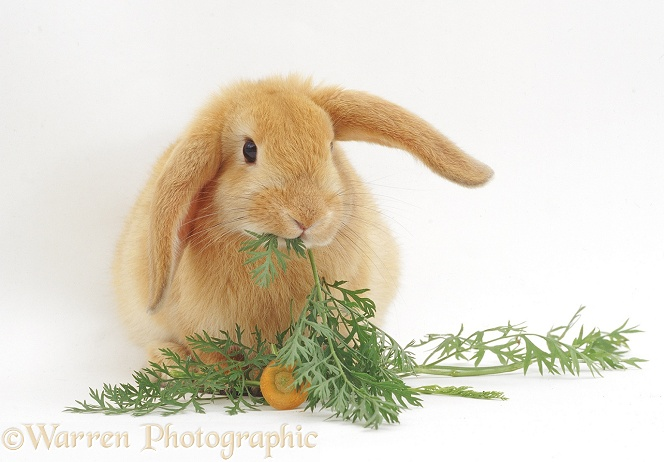 Young Sandy Lop rabbit eating carrot tops