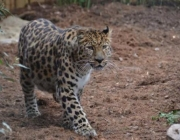 Comportamento do Leopardo-de-Amur 1