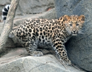 Comportamento do Leopardo-de-Amur 2