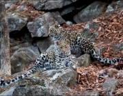Comportamento do Leopardo-de-Amur 3