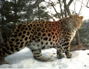 Comportamento do Leopardo-de-Amur 4