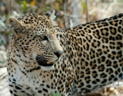Comportamento do Leopardo-de-Amur 6