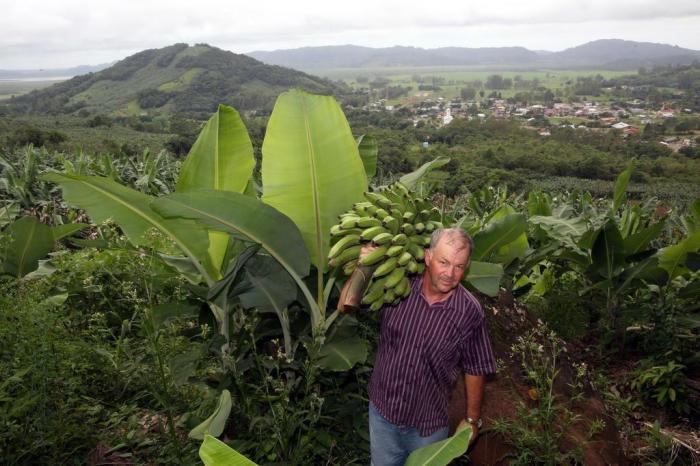 Cultivar Bananas 4