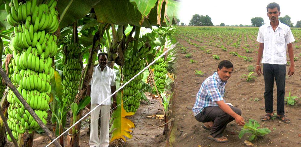 Cultivo da Banana 6