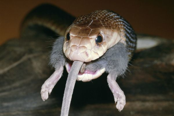 TAIPAN / Fierce SNAKE - eating a mouse
