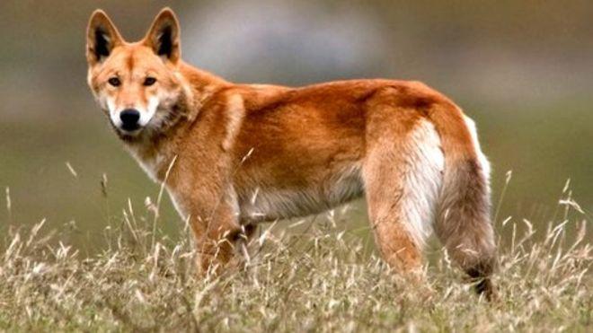Dingo 6