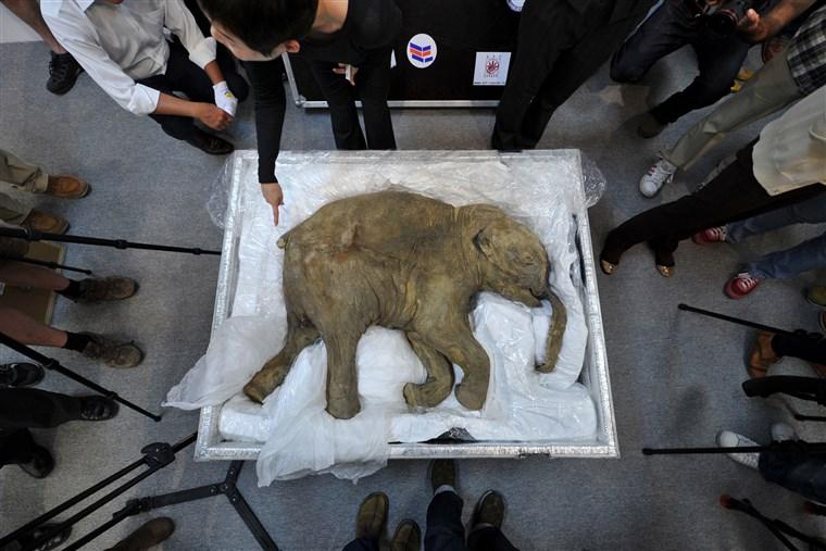 Elefante Anão Extinto 4