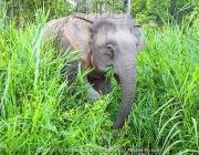 Elefante Pigmeu Comendo 4