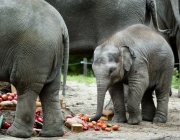 "Baby elephant ""Nhi Linh"" eats vegetables on her first birthday at the Rotterdam Blijdorp Zoo, in Rotterdam, on August 10, 2014.  AFP PHOTO / ANP / BART MAAT  ***netherlands out***"