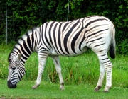 Zebra as Planícies 1