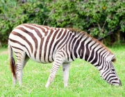 Zebra as Planícies 2