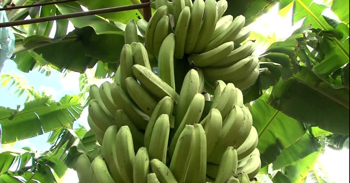 Excesso de Água na Bananeira 5