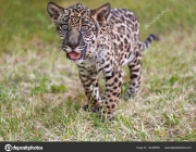 Young baby jaguar (Panthera onca). Felidae family. Little wild cat walking in park. Looking camera