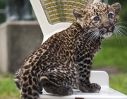 An eight-week old leopard cub weighs in at 2800 grams as it is unveiled to media and public at the Tierpark zoo in Berlin on August 22, 2014. The Java-leopard was born in the zoo on June 17th to mother Shinta. The cub has yet to be named. AFP PHOTO / ODD ANDERSEN