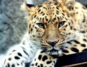Filhotes de Leopardos-do-Norte-da-China 2