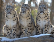 Filhotes de Leopardos-do-Norte-da-China 4