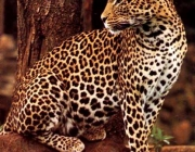 Filhotes de Leopardos-do-Norte-da-China 5