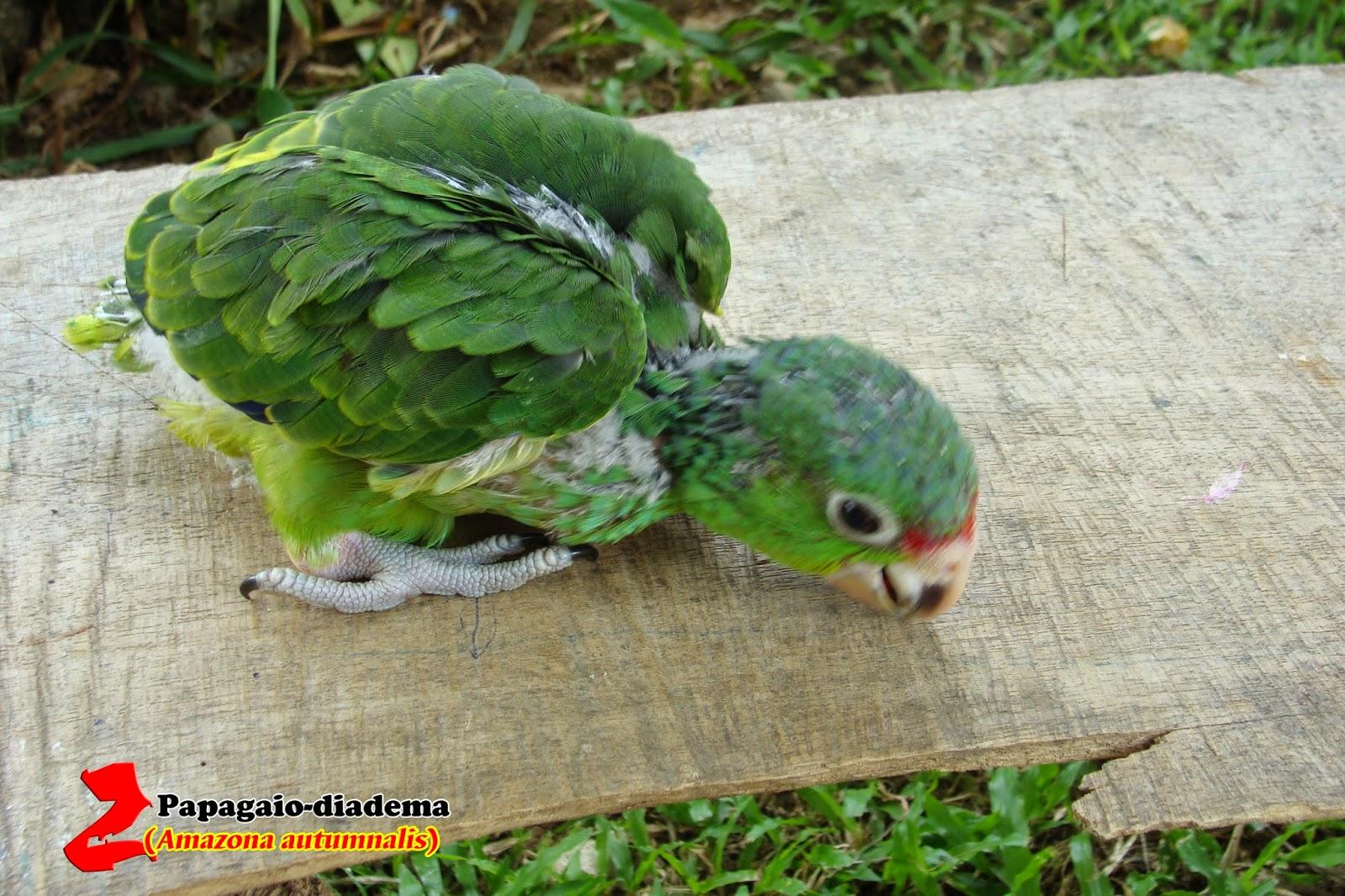 Filhotes de Papagaio 4
